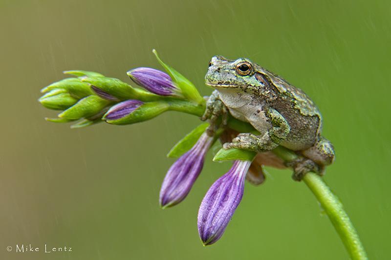 Tree Frog on Hosta pedal