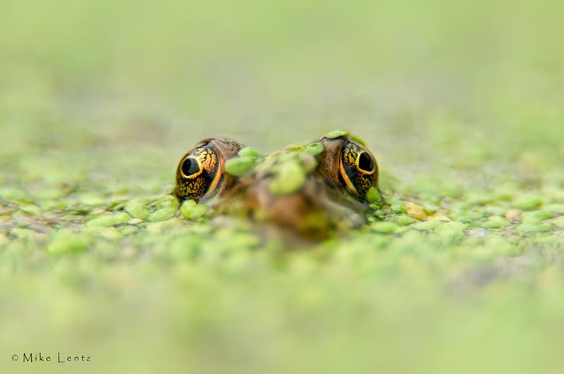 Green frog in Algae