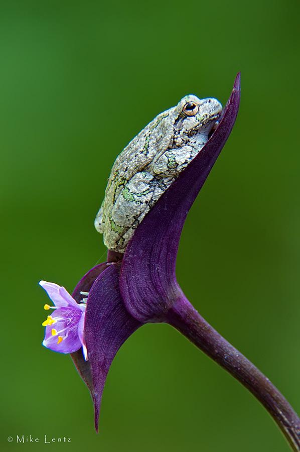 Tree Frog on purple plant