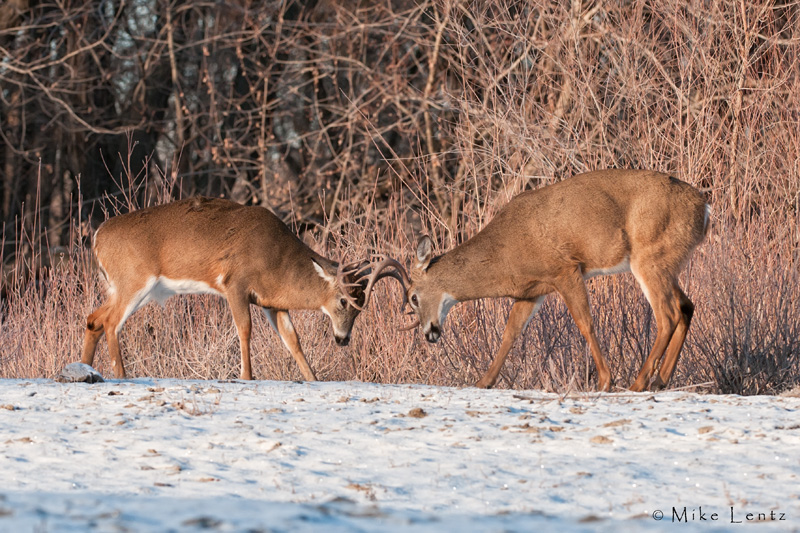 Buck battle