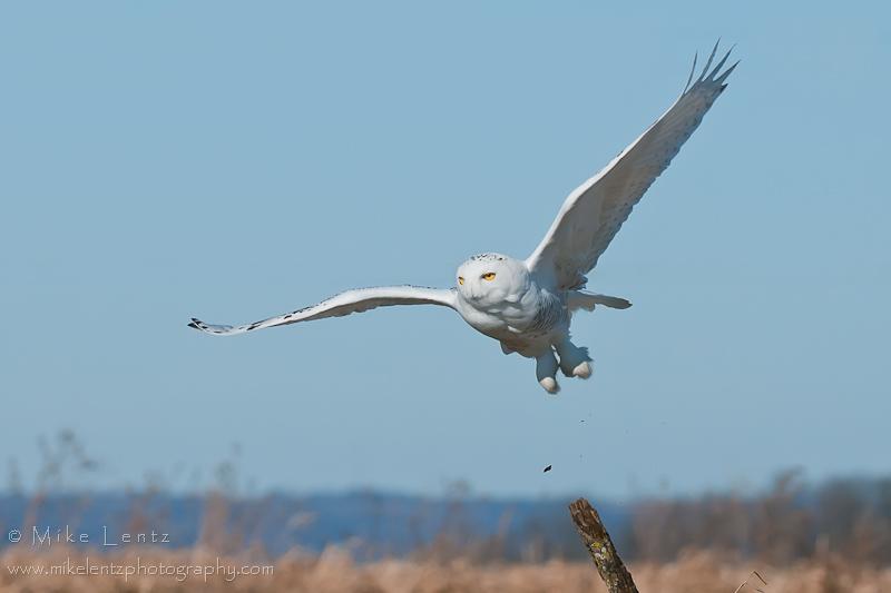 Snowy Owls leaps to flight