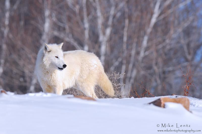 Arctic Wolf  in winter landscape