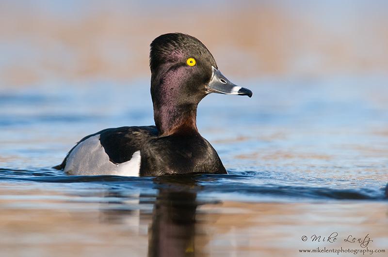 Ringneck Duck (drake)