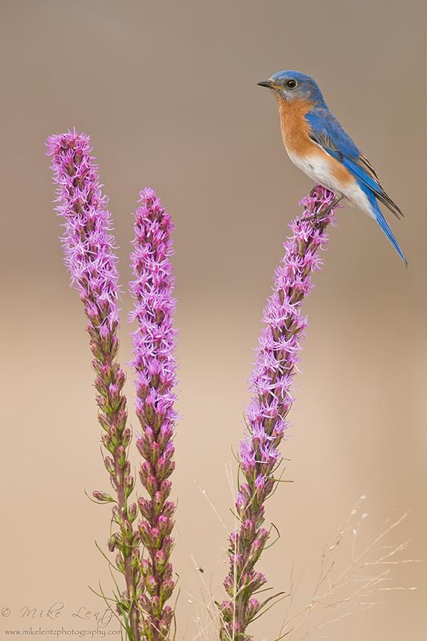 Bluebird on Blazing Star