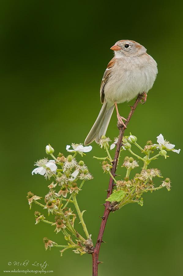 Field Sparrow on flowering shrub