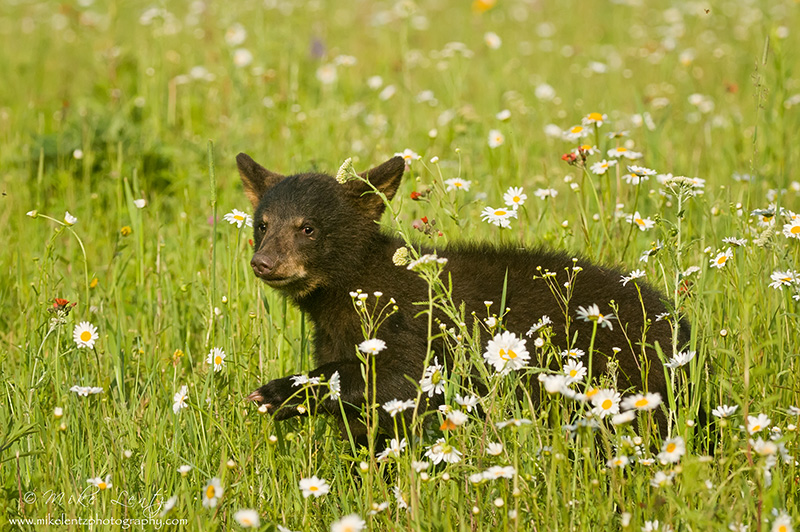 Black Bear cub strolls through flowers