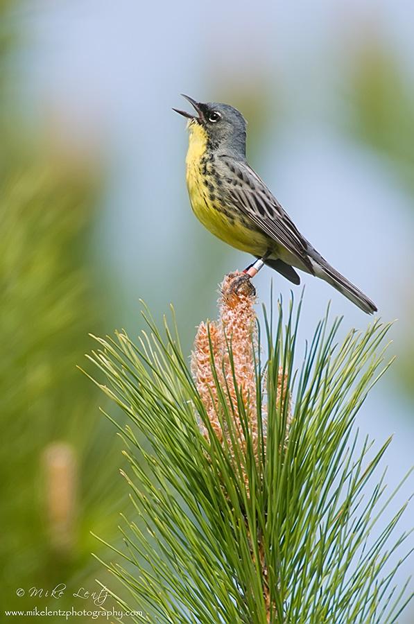 Kirtlands warbler sings