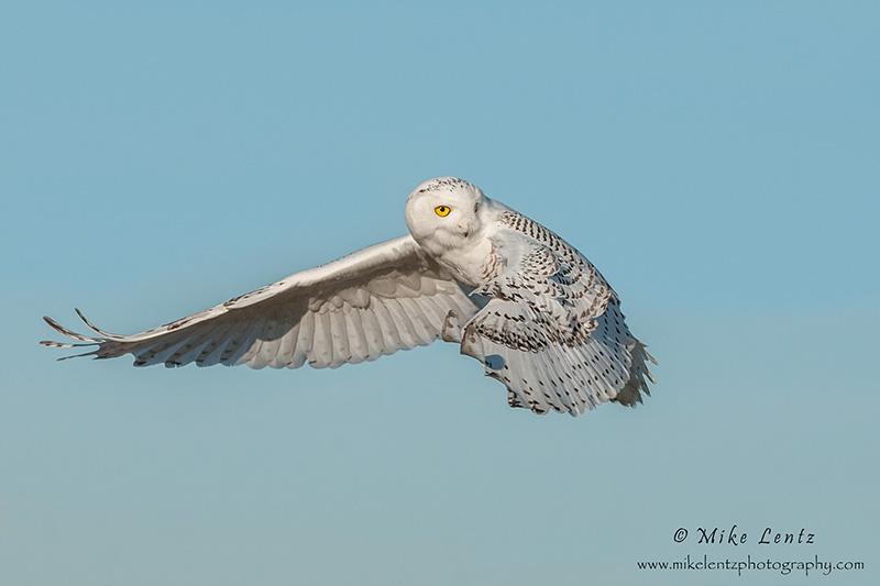 Snowy Owl Flamenco