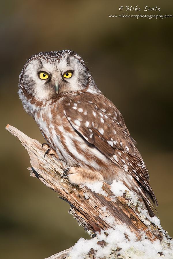 Boreal Owl hunting near wood pile