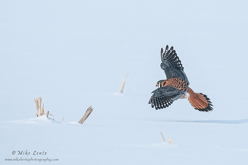 Kestral flies across corn field