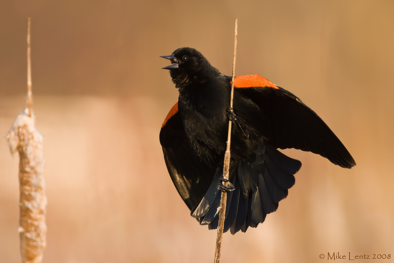 Red Winged Blackbird calling