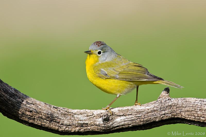 Nashville Warbler on branch