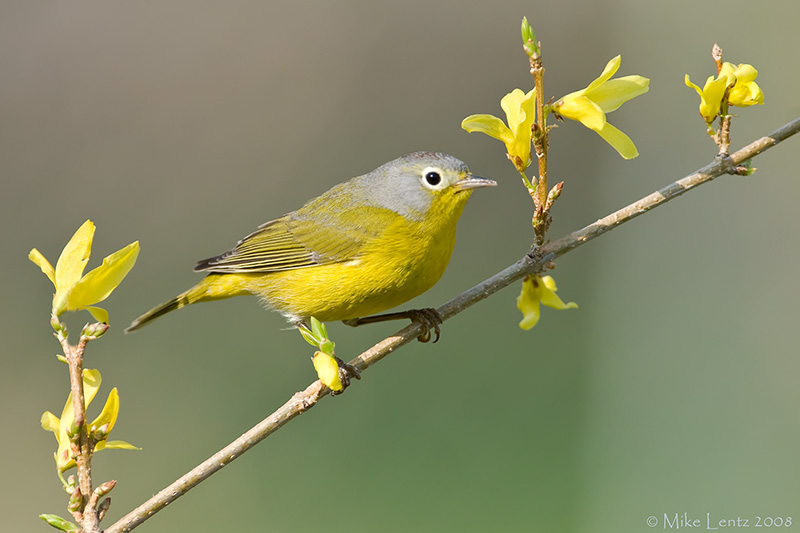 Nashville warbler on Forsythia bush