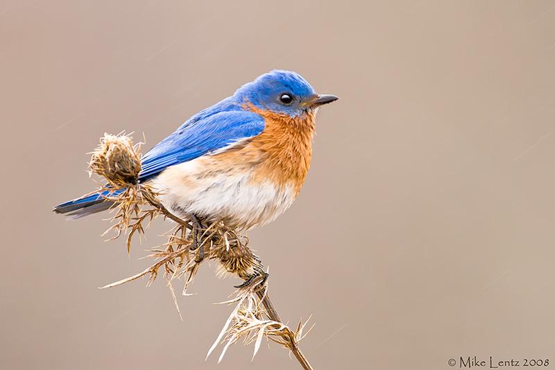 Bluebird on sticky bush in rain