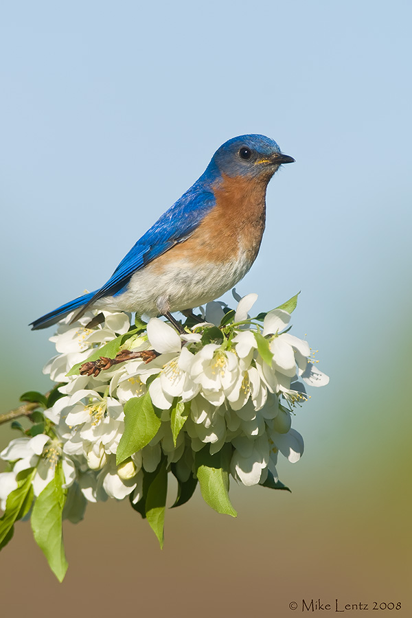 Bluebird on flower