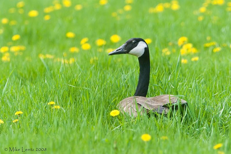 Goose in the dandelions