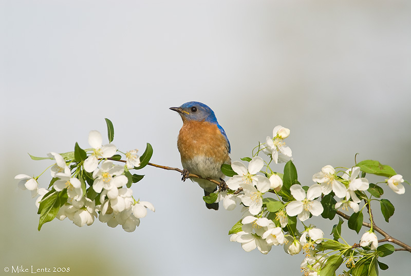 Bluebird on white blossoms
