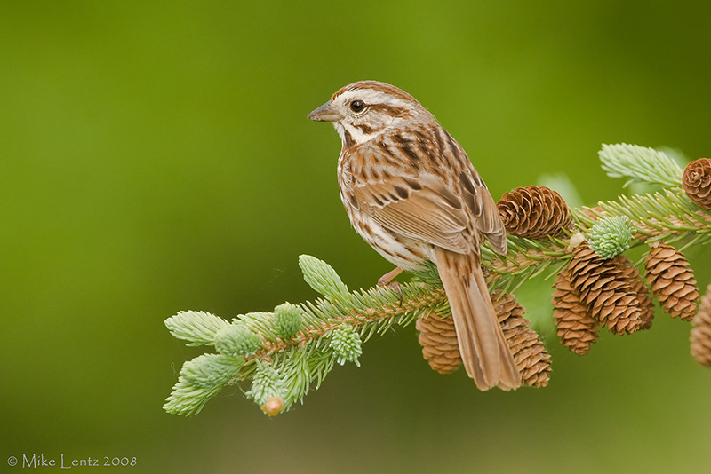Song Sparrow on pine cones