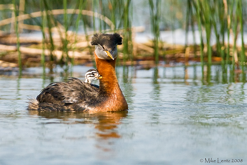 Red necked grebe carries baby
