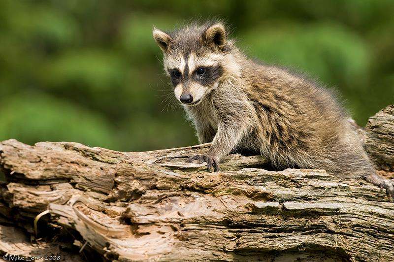 Racoon baby on log