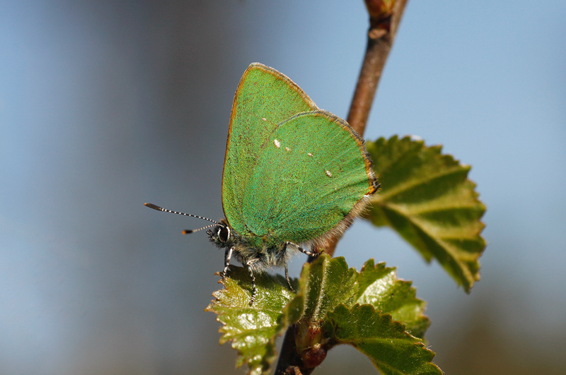 Green Hairstreak - Groentje