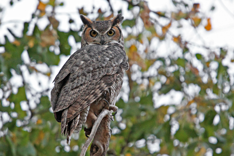 Owl, Great Horned 0533
