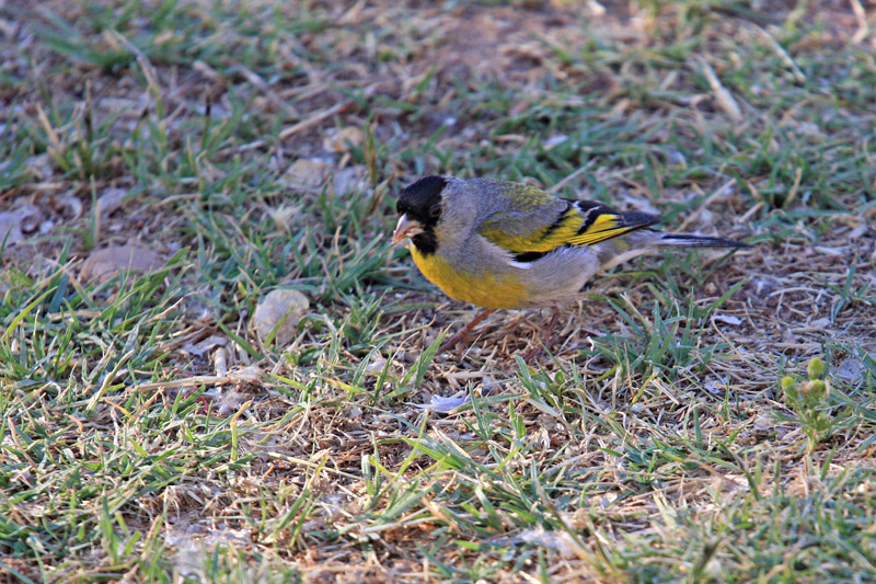 Goldfinch, Lawrences 3059