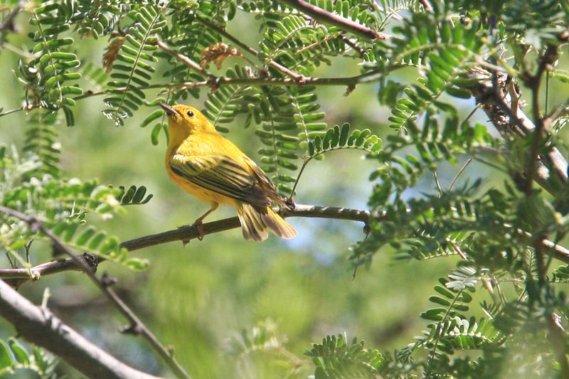 Warbler, Yellow 1613