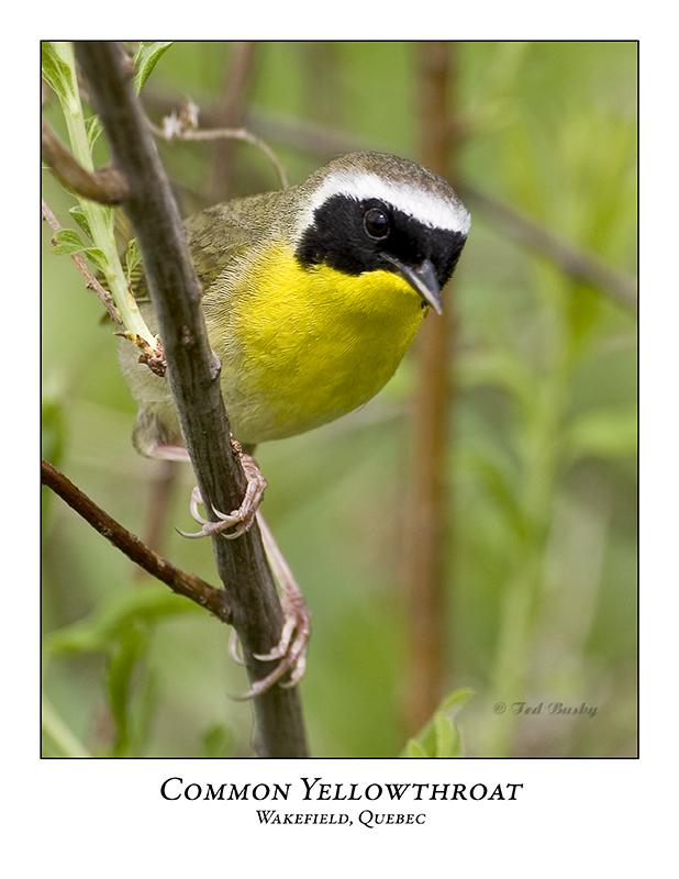 Common Yellowthroat-020