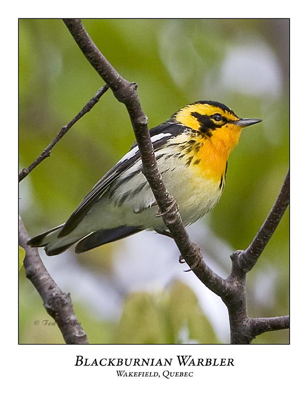 Blackburnian Warbler-004
