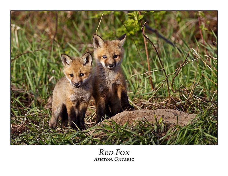 Red Fox-004
