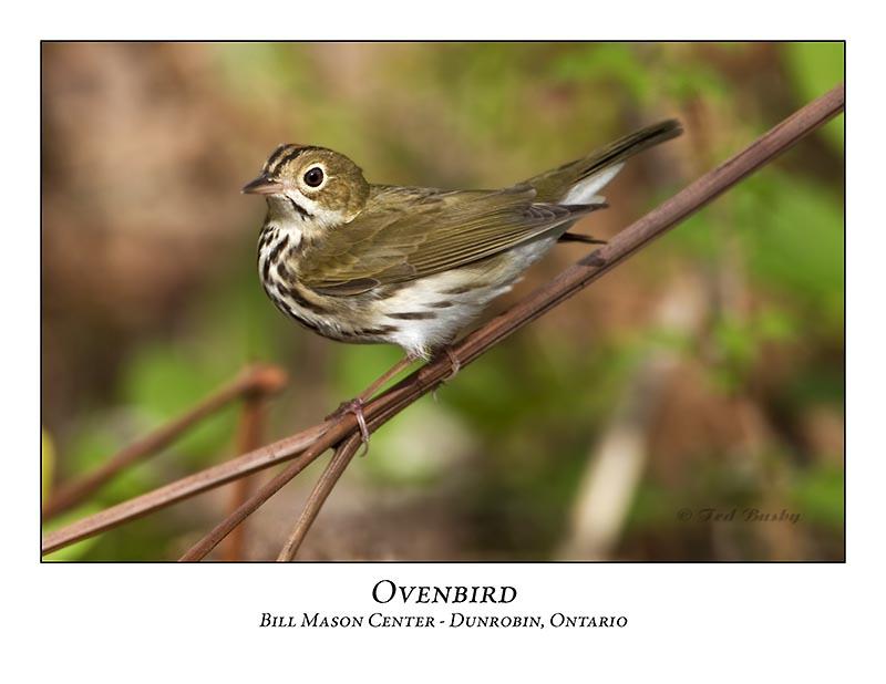 Ovenbird-006