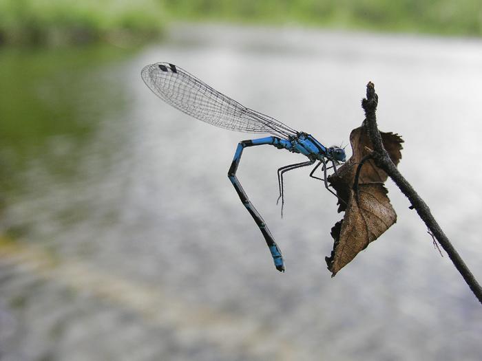 Spearhead Bluet, Vanlig blåvannymfe, Coenagrion hastulatum, male