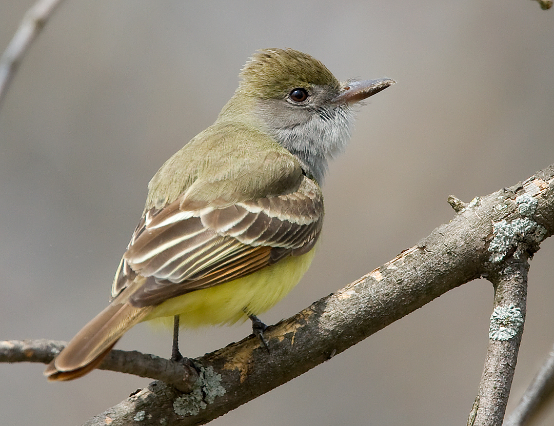 Great-crested Flycatcher 2745