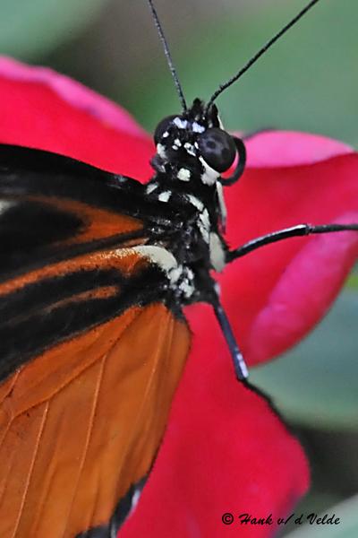 20081009 188 Butterfly, Zuleika (Heliconius Hecale) SERIES.jpg