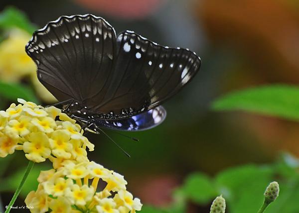 20081005 025 Butterfly.jpg