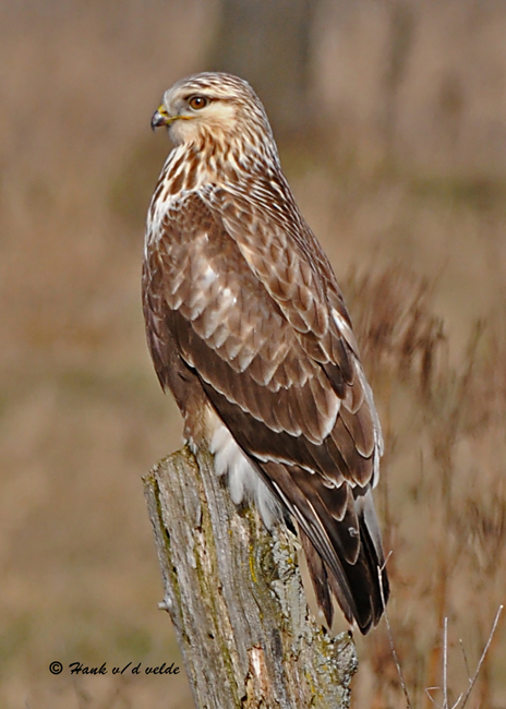 20081119 283 Rough-legged Hawk.jpg