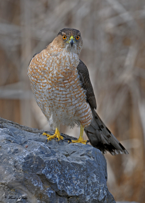 20100322 247 Coopers Hawk SERIES.jpg