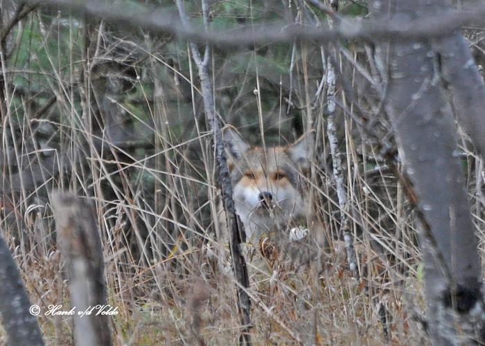 20101106 012 Coyote SERIES.jpg