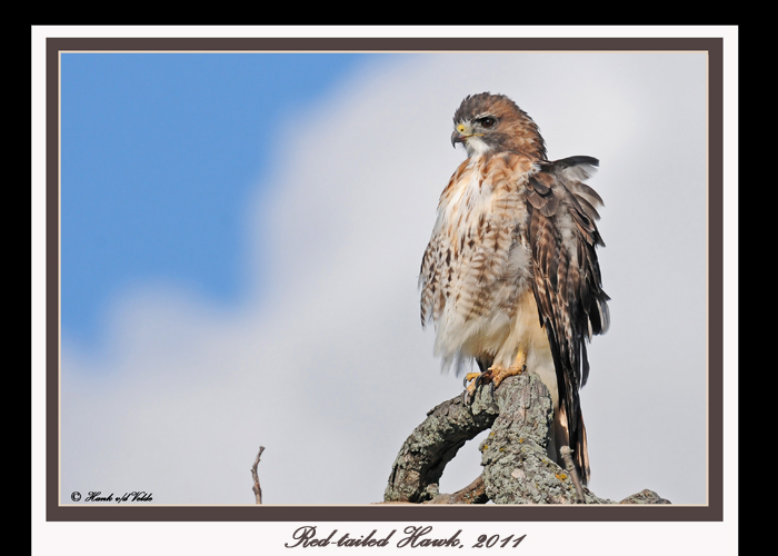 20111028 - 1 1c1 449 Red-tailed Hawk.jpg