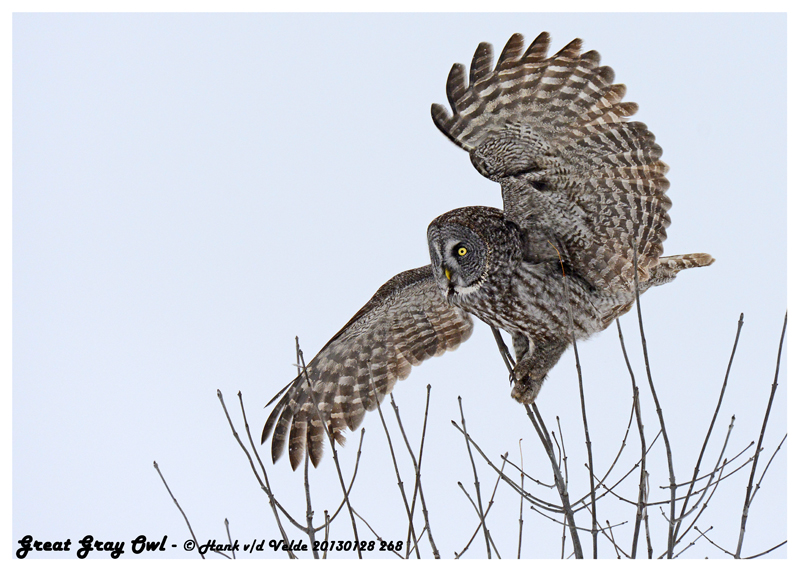 20130128 268 Great Gray Owl 1r2.jpg