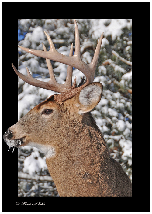 20111229 634 1r1a1 White-tailed Deer.jpg