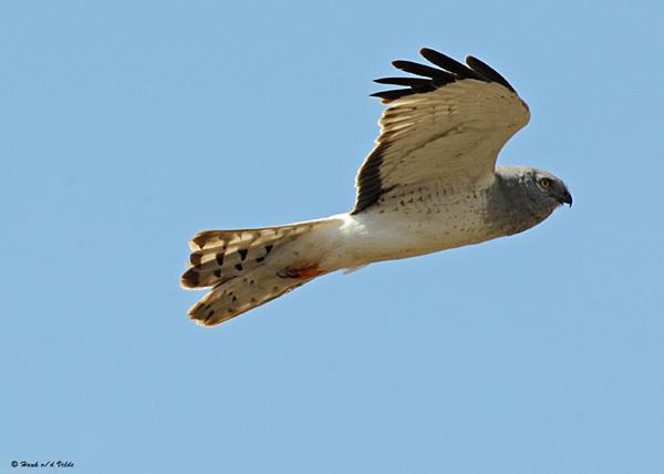 20080429 199 Northern Harrier (male).jpg