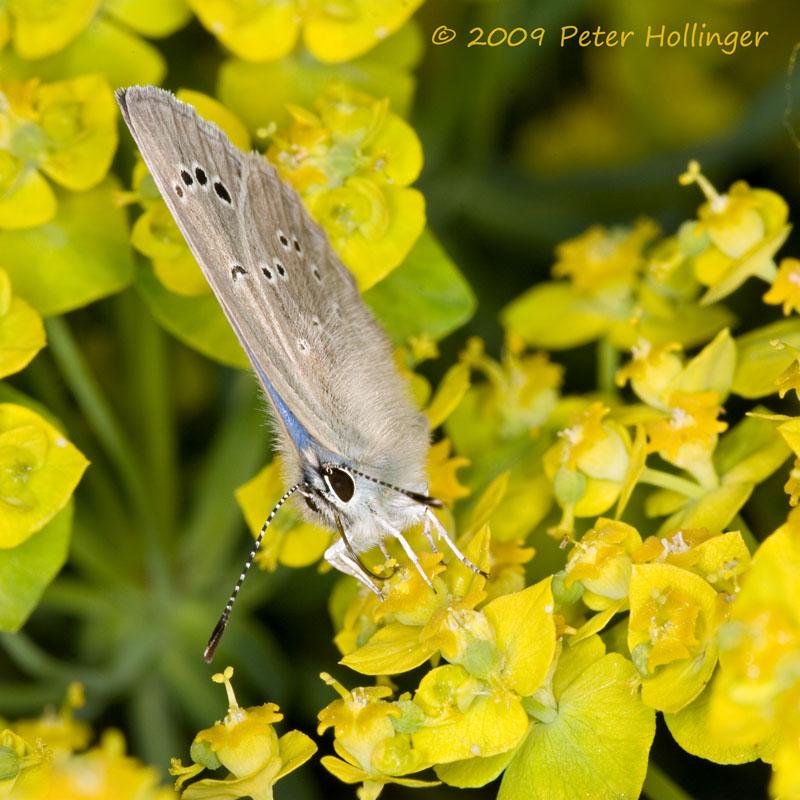 Butterfly (Glaucopsyche lygdamus) on Spurge (Euphorbia)