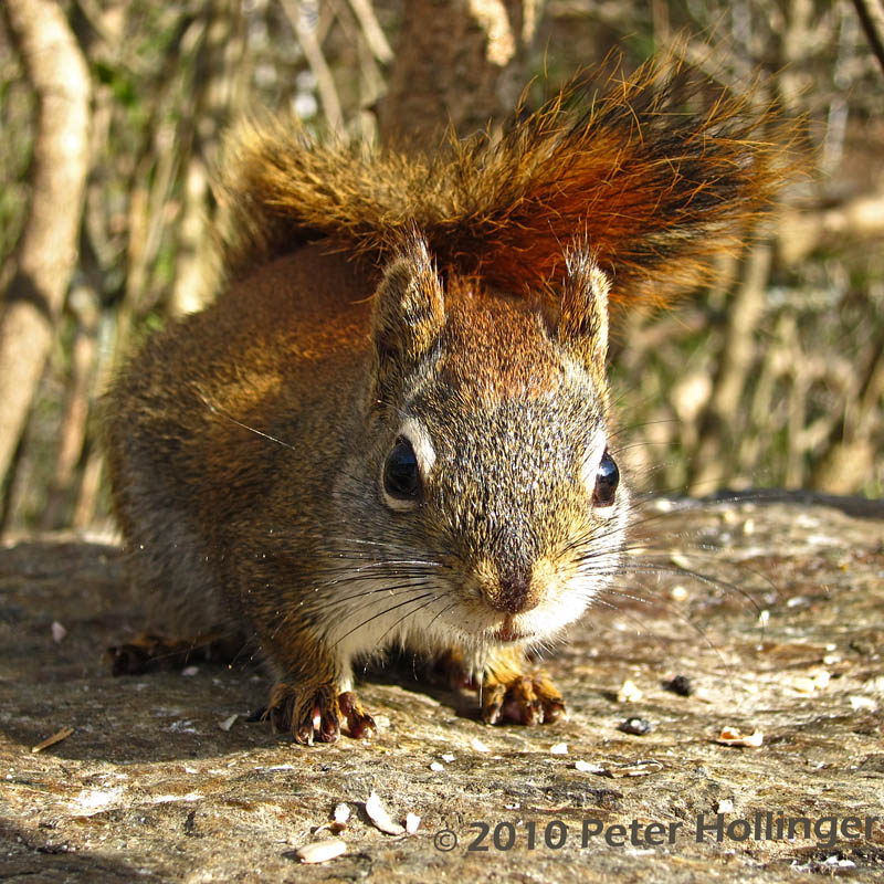 Close Encounter with a Red Squirrel