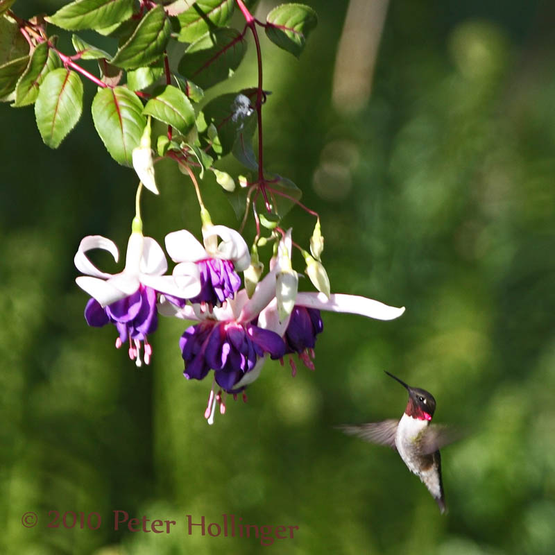 Hummingbird at Fuchsia
