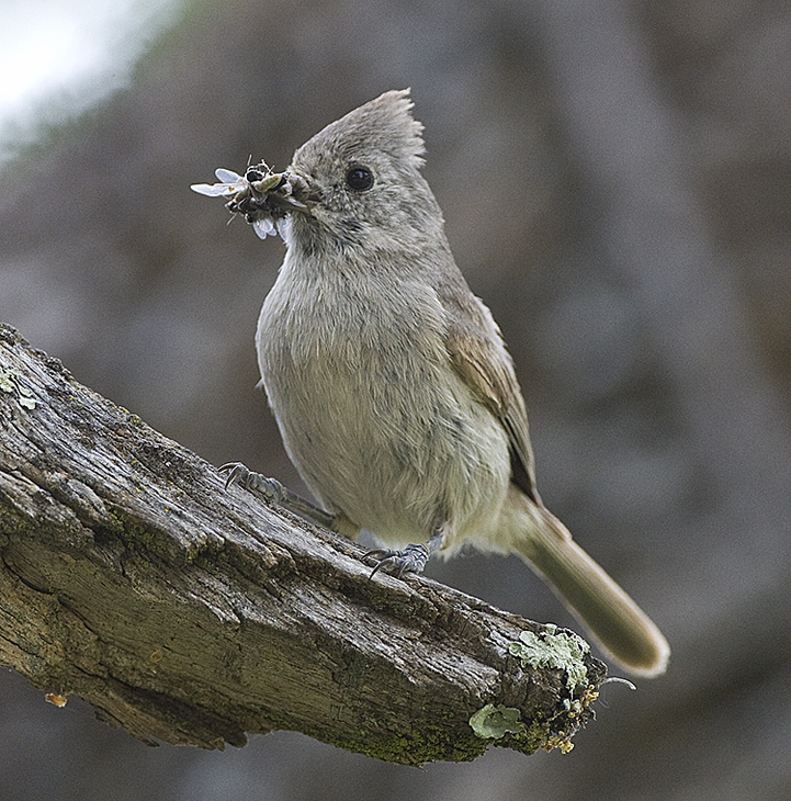 Oak Titmouse takes food to chick