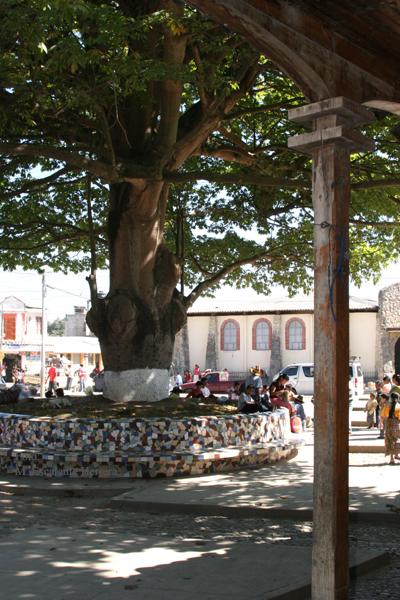 Ceiba en la Plaza Central