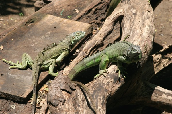 Iguanas Adultas Para Reproduccion