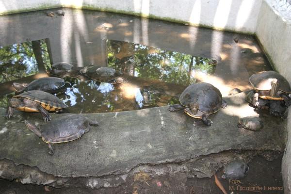Las Tortugas Terrestres Tambien son Protegidas